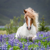 Horse Running by Lupines. Purebred Icelandic Horse in the Summertime with Blooming Lupines, Iceland Stampa fotografica