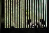A Giant Panda Peers Through the Bars of its Enclosure Fotografie-Druck von Ami Vitale