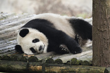 A Captive Adult Giant Panda Resting in its Enclosure Fotografie-Druck von Ami Vitale
