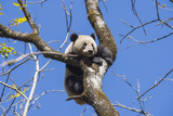 A Giant Panda in Training Climbs a Tree as its Moved into a New Enclosure at the Wolong Reserve Fotografie-Druck von Ami Vitale