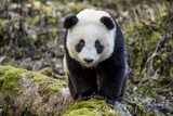 Portrait of a Captive-Born Giant Panda in the Dengsheng Forest Bedruckte aufgespannte Leinwand von Ami Vitale
