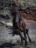 Icelandic Black Stallion, Iceland Fotografie-Druck