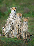 Cheetah (Acinonyx Jubatus) Family, Ndutu, Ngorongoro Conservation Area, Tanzania Lámina fotográfica