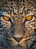 Leopard (Panthera Pardus), Ndutu, Ngorongoro Conservation Area, Tanzania Fotografisk trykk av Green Light Collection
