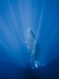 Friendly Mother and Calf Humpback Whale (Megaptera Novaeangliae) Metal Print by Jonathan Kingston