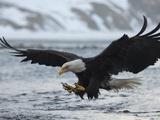 A Bald Eagle, Haliaeetus Leucocephalus, Fishing Metalltrykk av Klaus Nigge