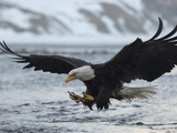 A Bald Eagle, Haliaeetus Leucocephalus, Fishing Metal Print by Klaus Nigge