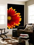 A Fire Wheel Flower, Gaillardia Pulchella Wall Mural by Joel Sartore