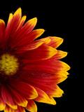 A Fire Wheel Flower  Gaillardia Pulchella