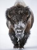 Portrait of an Snow-Dusted American Bison, Bison Bison Art sur métal  par Robbie George