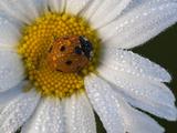A Ladybug on a Dew-Covered Daisy in a Field Art sur métal  par Gabby Salazar