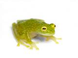 An Endangered Rio Azuela Glass Frog, Hyalinobatrachium Pellucidum Kunst på metal af Joel Sartore