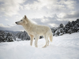 Arctic Wolf (Canis Lupus Arctos), Montana, United States of America, North America Kunst op metaal van Janette Hil