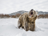 Brown Bear (Grizzly) (Ursus Arctos), Montana, United States of America, North America Kunst op metaal van Janette Hil