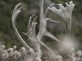 Antlers of a Male Woodland Caribou in a Field of Dryas Metal Print by Peter Mather