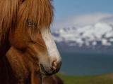 Close Up Portrait of an Icelandic Horse Metal Print by Erika Skogg