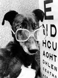 Greyhound Bitch Wearing Glasses February 1987 Photographie