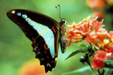 To Be a Butterfly 1988 Papillon Photo