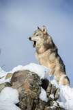 Grey Wolf (Timber Wolf) (Canis Lupis), Montana, United States of America, North America Fotoprint av Janette Hil