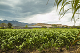 Field of Tobacco Plants in an Important Growing Region in the North West Photographic Print by Rob Francis