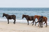 Wild Mustangs (Banker Horses) (Equus Ferus Caballus) in Currituck National Wildlife Refuge Reproduction photographique par Michael DeFreitas