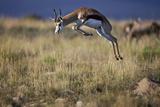 Springbok (Antidorcas Marsupialis) Buck Springing or Jumping Impressão fotográfica por James Hager