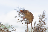 Eurasian Harvest Mouse (Micromys Minutus), Devon, England, United Kingdom Photographic Print by Janette Hill