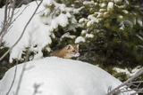 Pine Marten (Martes Martes), Montana, United States of America, North America Photographic Print by Janette Hil