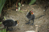 Coot (Fulica) Young Chicks, Gloucestershire, England, United Kingdom Reproduction photographique par Janette Hill