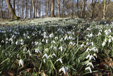 Snowdrops in Woodland, Near Stow-On-The-Wold, Cotswolds, Gloucestershire, England, UK 写真プリント : スチュアート・ブラック