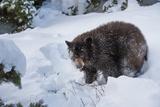 Black Bear (Ursus Americanus), Montana, United States of America, North America Photographic Print by Janette Hil