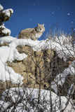 Bobcat (Lynx Rufus), Montana, United States of America, North America Photographic Print by Janette Hil