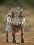 Warthog (Phacochoerus Aethiopicus), Male, Addo Elephant National Park, South Africa, Africa Lámina fotográfica por James Hager
