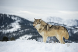 Grey Wolf (Timber Wolf) (Canis Lupis), Montana, United States of America, North America Photographic Print by Janette Hil
