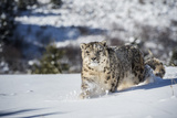 Snow Leopard (Panthera India), Montana, United States of America, North America Photographic Print by Janette Hil