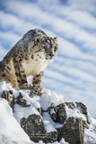 Snow Leopard (Panthera India), Montana, United States of America, North America Stretched Canvas Print by Janette Hil
