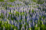 Lupine Flowers, Reykjavik, Iceland, Polar Regions Photographic Print by Yadid Levy