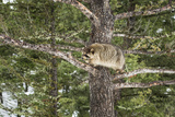 Racoon (Raccoon) (Procyon Lotor), Montana, United States of America, North America Photographic Print by Janette Hil
