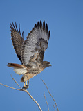 Red-Tailed Hawk (Buteo Jamaicensis) Taking Off Stampa fotografica di James Hager