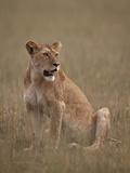 Lioness (Panthera Leo), Serengeti National Park, Tanzania, East Africa, Africa Fotografisk tryk af James Hager