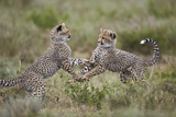 Cheetah (Acinonyx Jubatus) Cubs Playing, Serengeti National Park, Tanzania, East Africa, Africa Impressão fotográfica por James Hager
