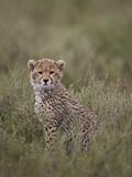 Cheetah (Acinonyx Jubatus) Cub, Serengeti National Park, Tanzania, East Africa, Africa Fotografisk tryk af James Hager