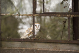 Barn Owl (Tyto Alba), Herefordshire, England, United Kingdom Photographic Print by Janette Hill