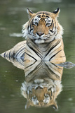 Ustaad, T24, Royal Bengal Tiger (Tigris Tigris), Ranthambhore, Rajasthan, India Photographic Print by Janette Hill