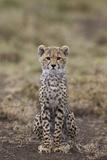 Cheetah (Acinonyx Jubatus) Cub, Serengeti National Park, Tanzania, East Africa, Africa Photographic Print by James Hager
