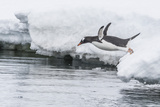 Gentoo Penguin (Pygoscelis Papua) Returning to the Sea to Feed at Dorian Bay, Antarctica Fotografisk tryk af Michael Nolan