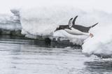 Gentoo Penguin (Pygoscelis Papua) Returning to the Sea to Feed at Dorian Bay, Antarctica Photographic Print by Michael Nolan