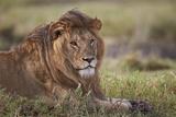 Lion (Panthera Leo), Serengeti National Park, Tanzania, East Africa, Africa Fotografisk tryk af James Hager