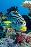 Striped Sweetlips (Diagonal Banded Sweetlips) (Plectorhinchus Lineatus) Fotografie-Druck von Louise Murray