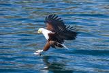 African Fish Eagle (Haliaeetus Vocifer) Hunting Fish, Cape Maclear, Lake Malawi, Malawi, Africa Fotografisk tryk af Michael Runkel